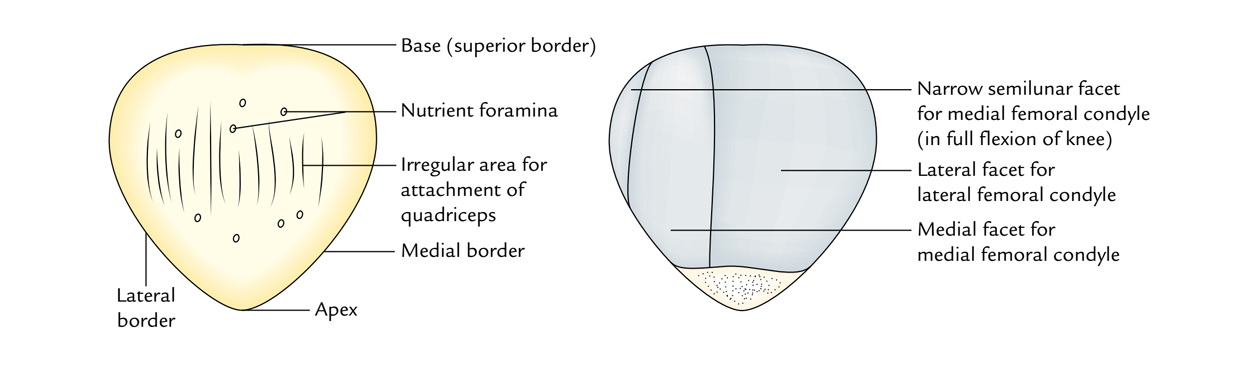 Patella: Borders
