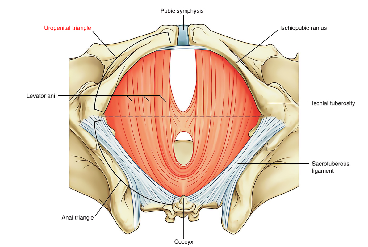 Perineum: Urogenital Triangle