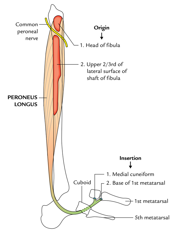 fibularis longus pain - 587×800