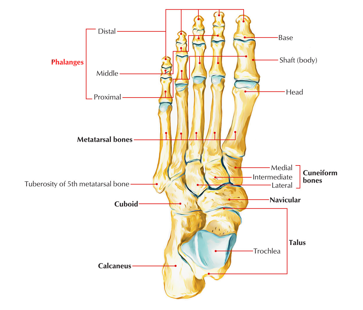 Skeleton of the Foot: Phalangeal Bones