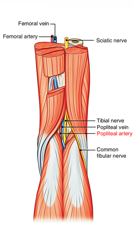 Easy Notes On Popliteal Arterylearn In Just 4 Minutes