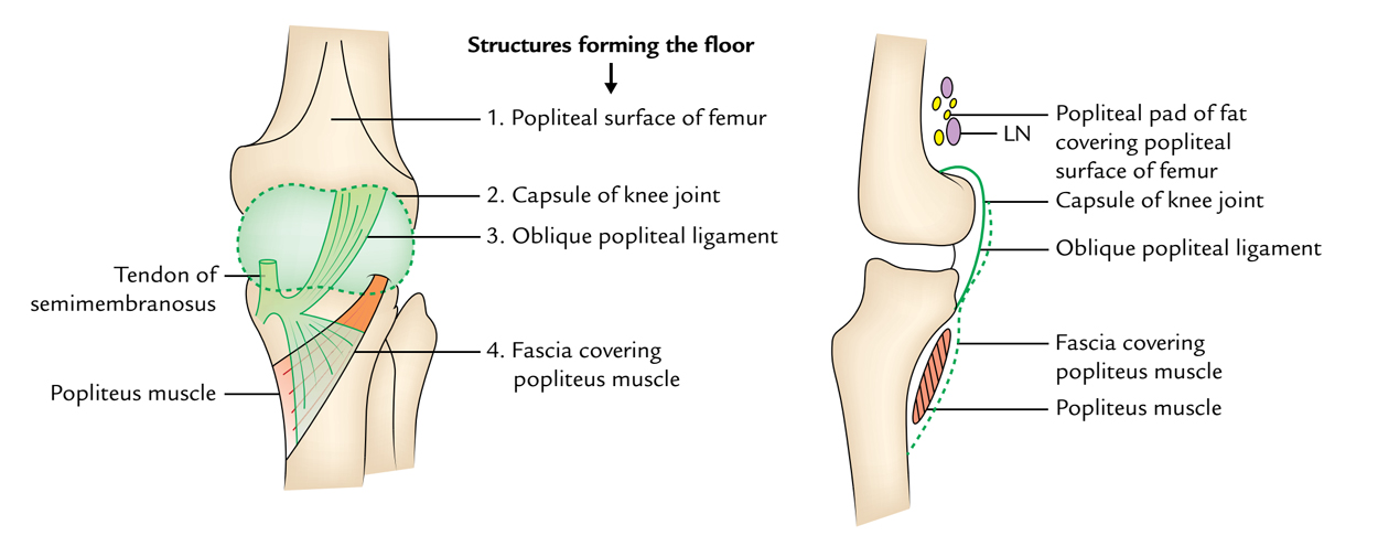 Surface Anatomy Of The Knee
