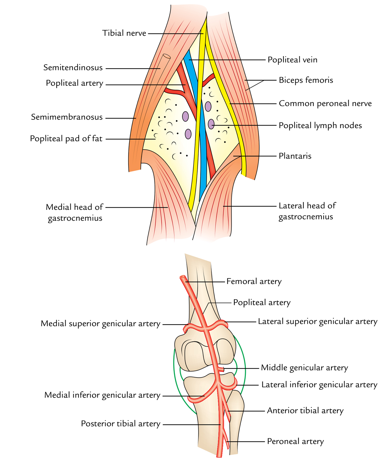 Easy Notes On 【Popliteal Fossa】Learn in Just 4 Minutes!