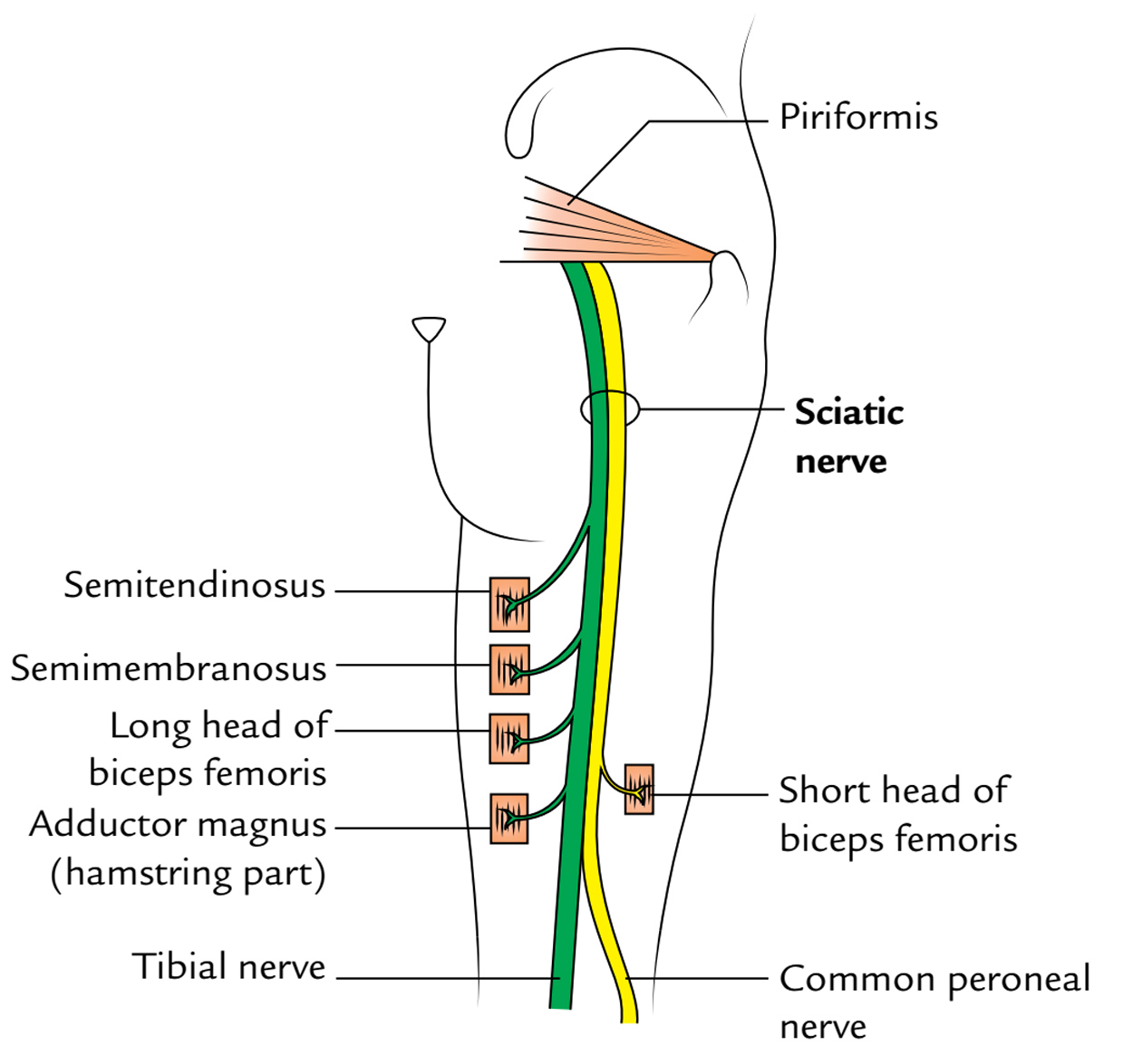 Easy Notes On 【Sciatic Nerve】Learn in Just 4 Minutes! Sciatic Nerve Branches