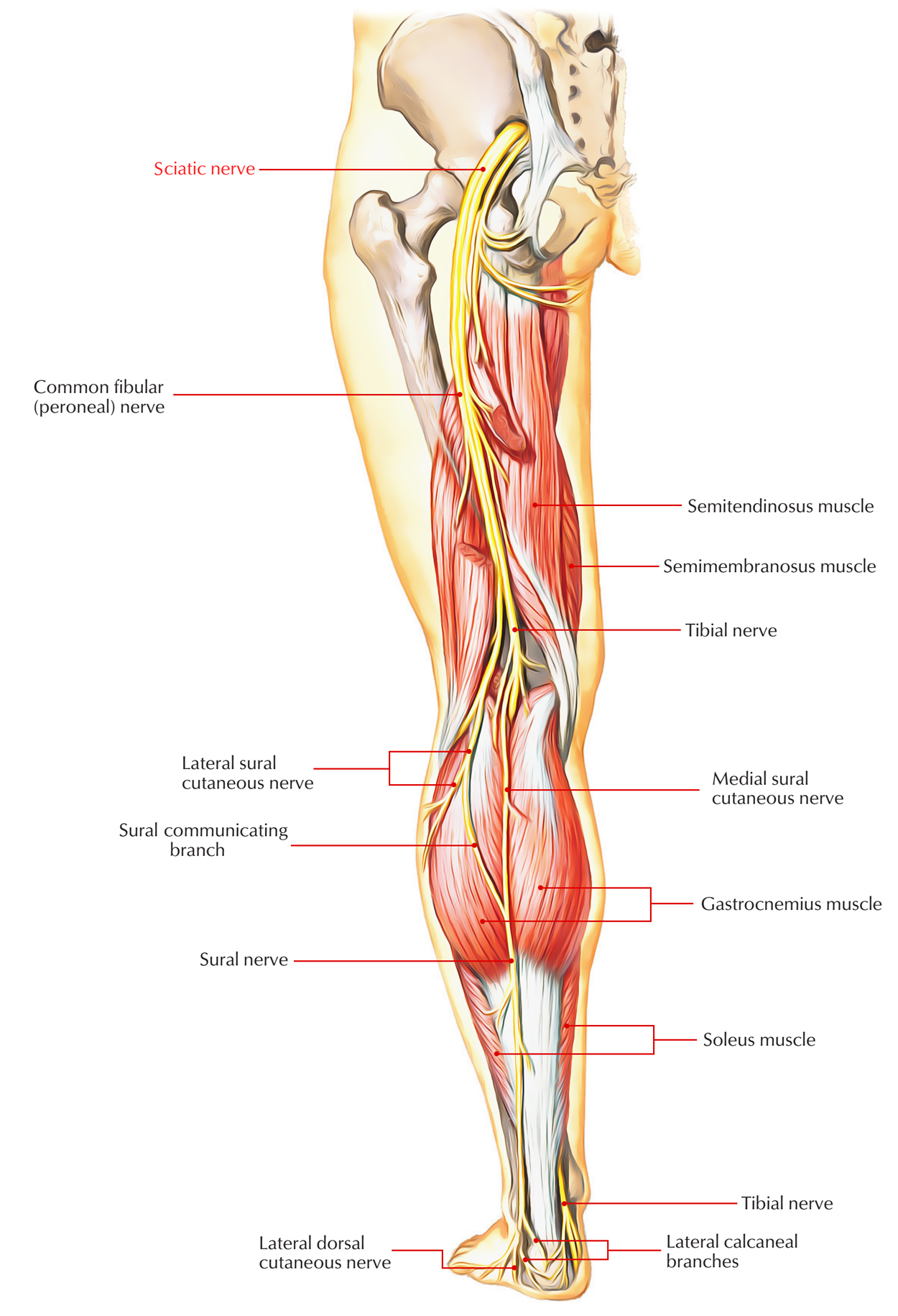 Easy Notes On 【Sciatic Nerve】Learn in Just 4 Minutes!