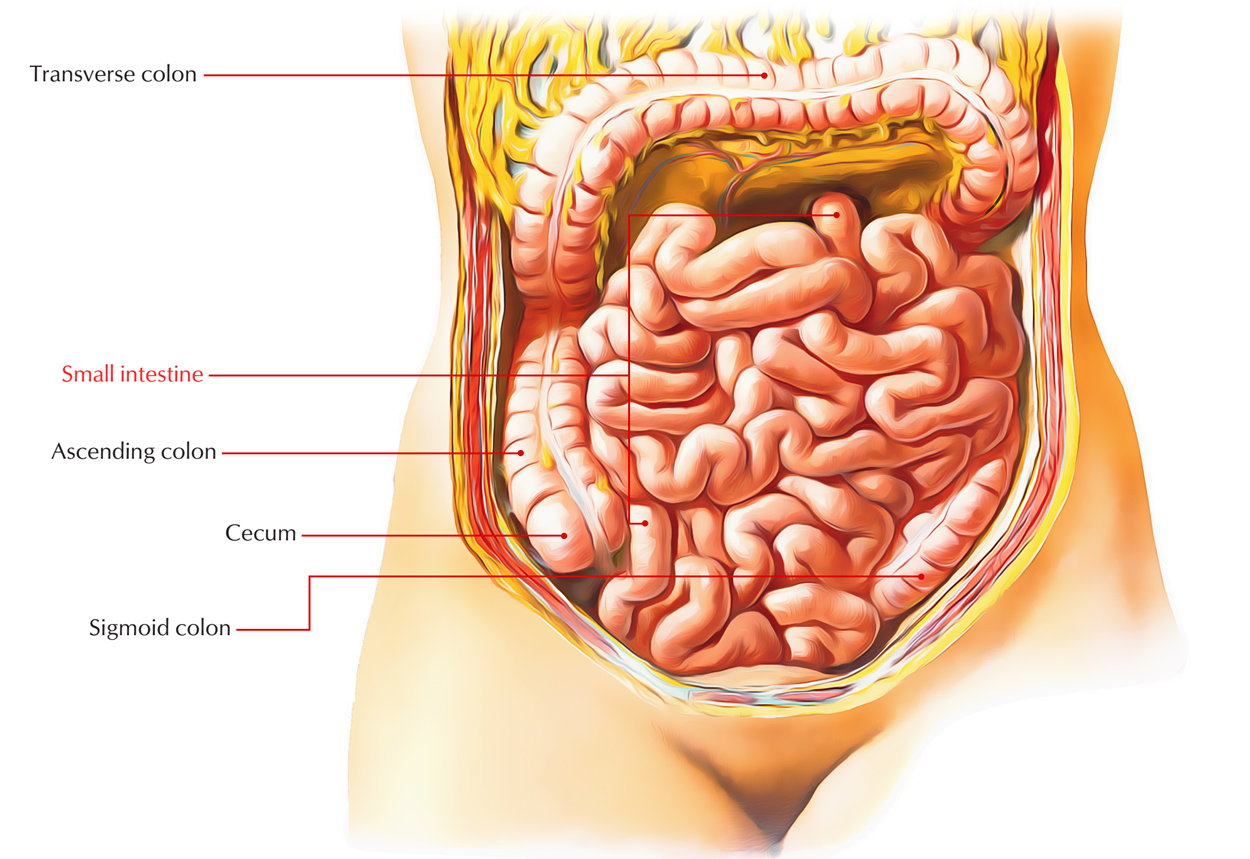 Digestive System: Small Intestine