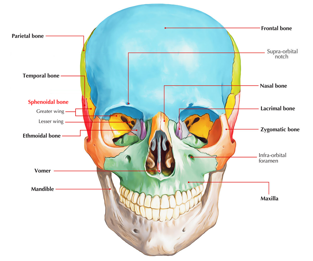 Easy Notes On Sphenoid Bonelearn In Just 4 Minutes
