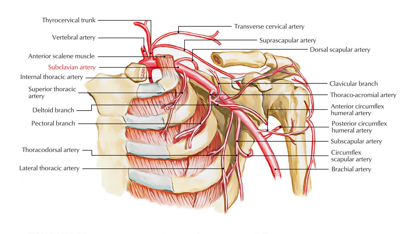 Easy Notes On 【Subclavian Arteries】Learn in Just 3 Minutes!