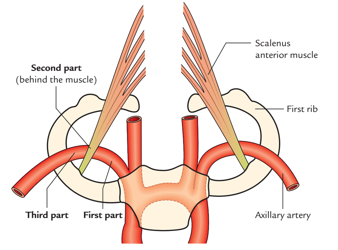 Subclavian Arteries: Course