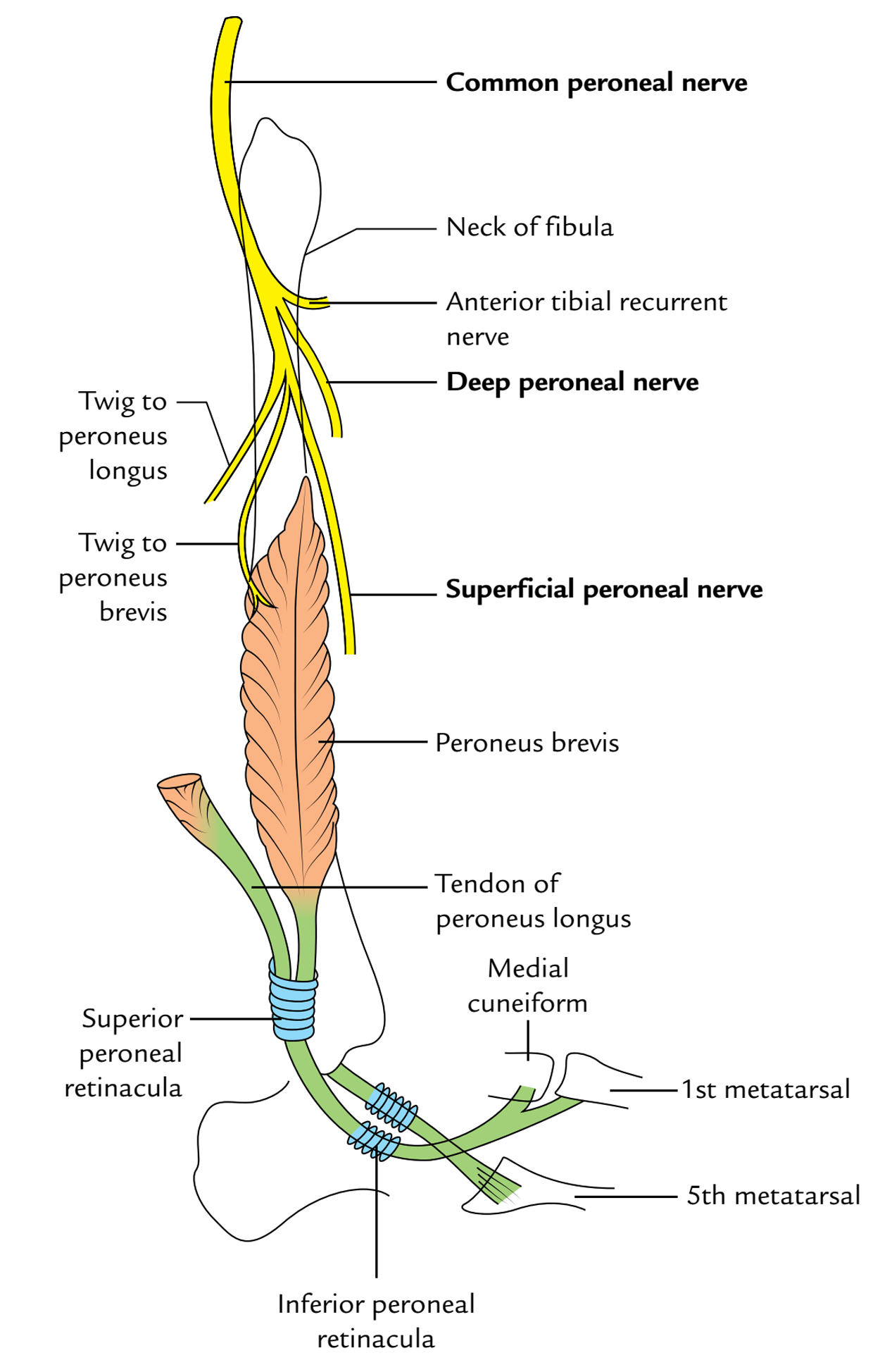 Superficial Peroneal Nerve: Course and Relation