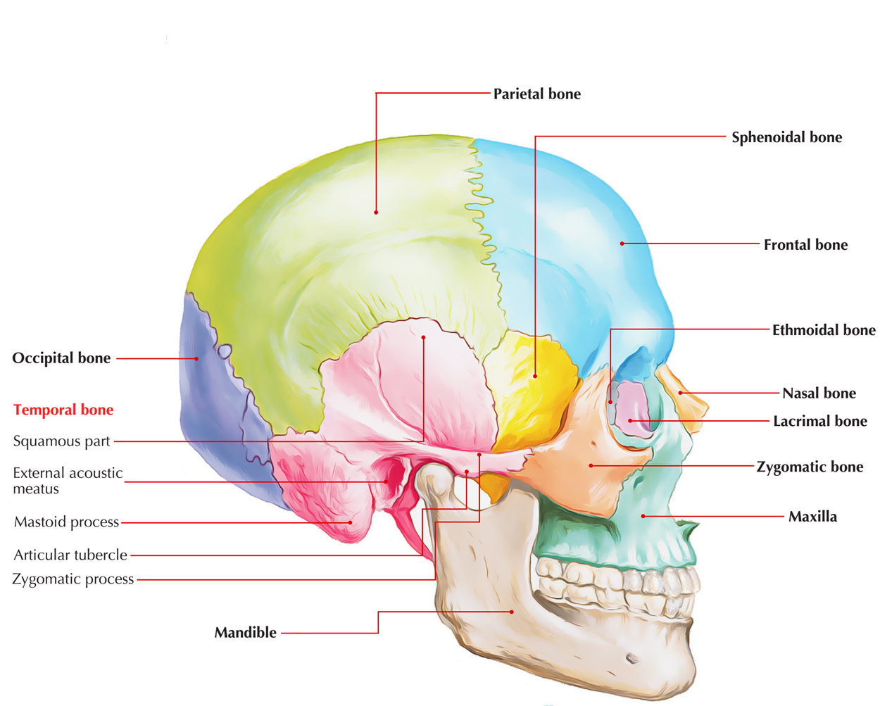 Easy Notes On Temporal Bonelearn In Just 4 Minutes