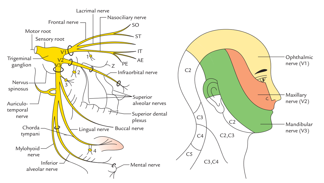 Cranial nerves and pathways | clinical neuroanatomy, 28e.