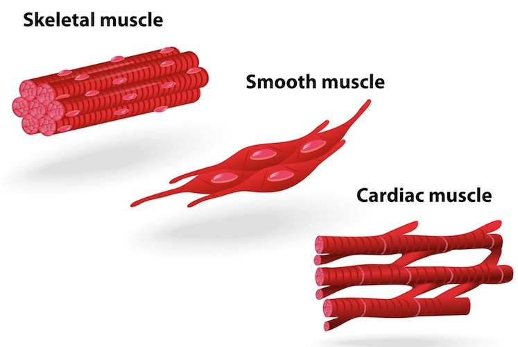 Muscle Tissue And Type...