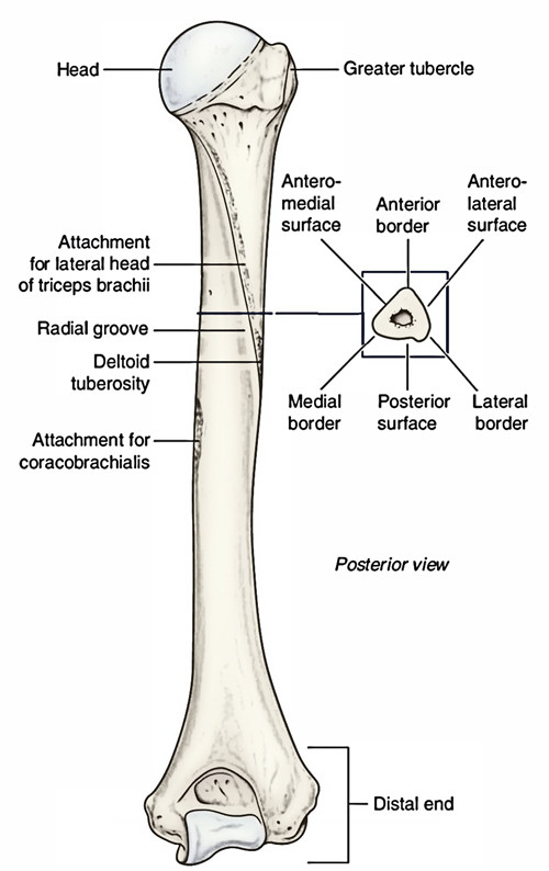 Easy Notes On 【Humerus】Learn in Just 4 Minutes!
