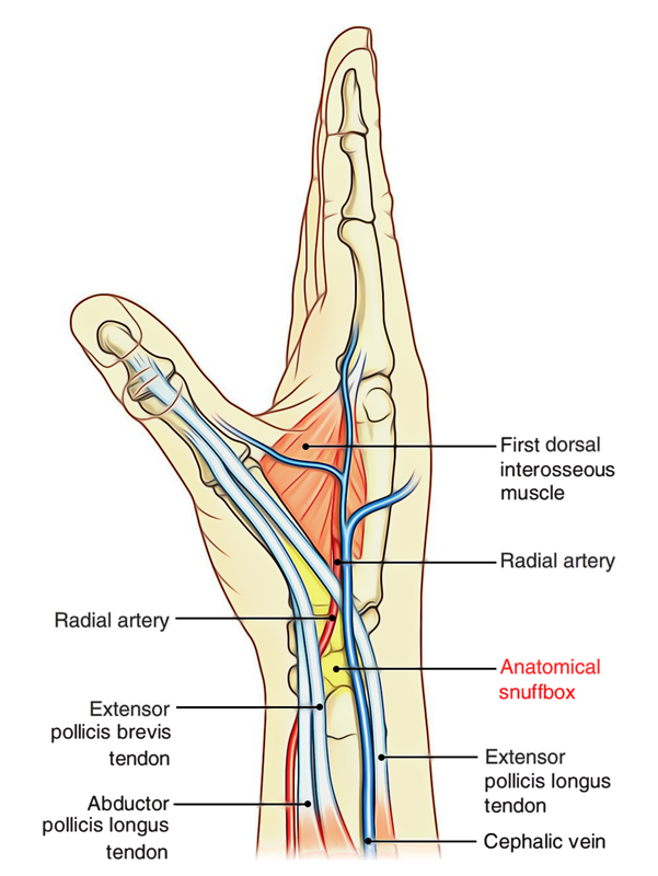 easy notes on anatomical snuffbox learn in just 3 minutes