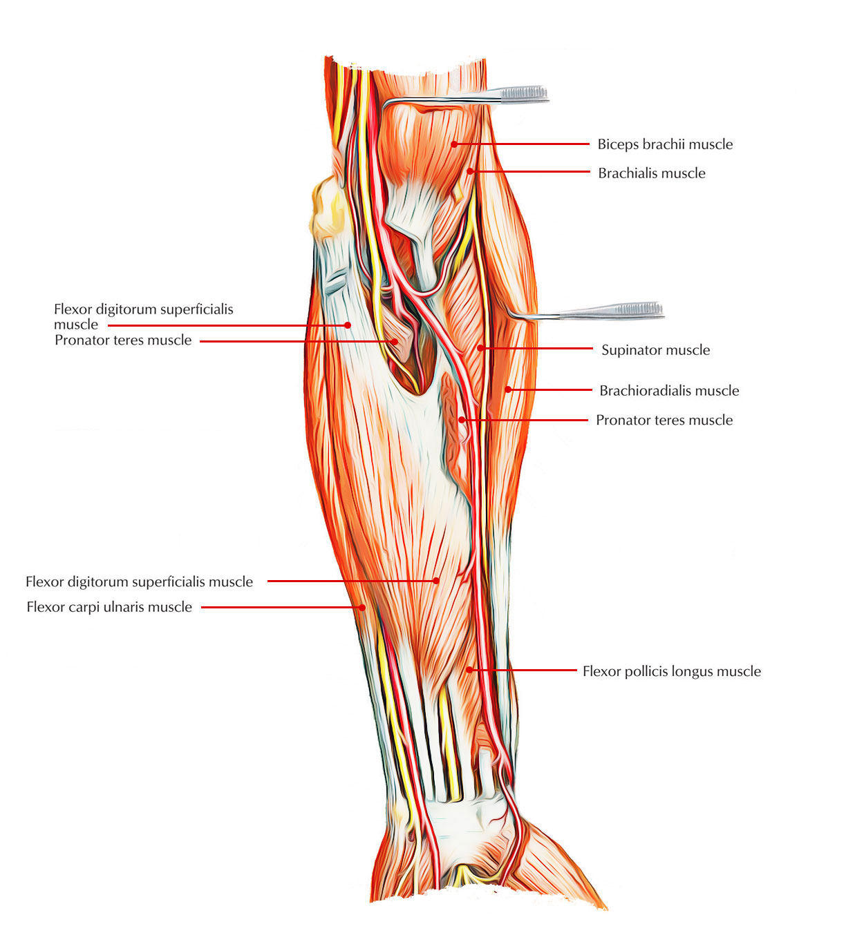 Easy Notes On Muscles Of The Anterior Or Front Of The Forearm