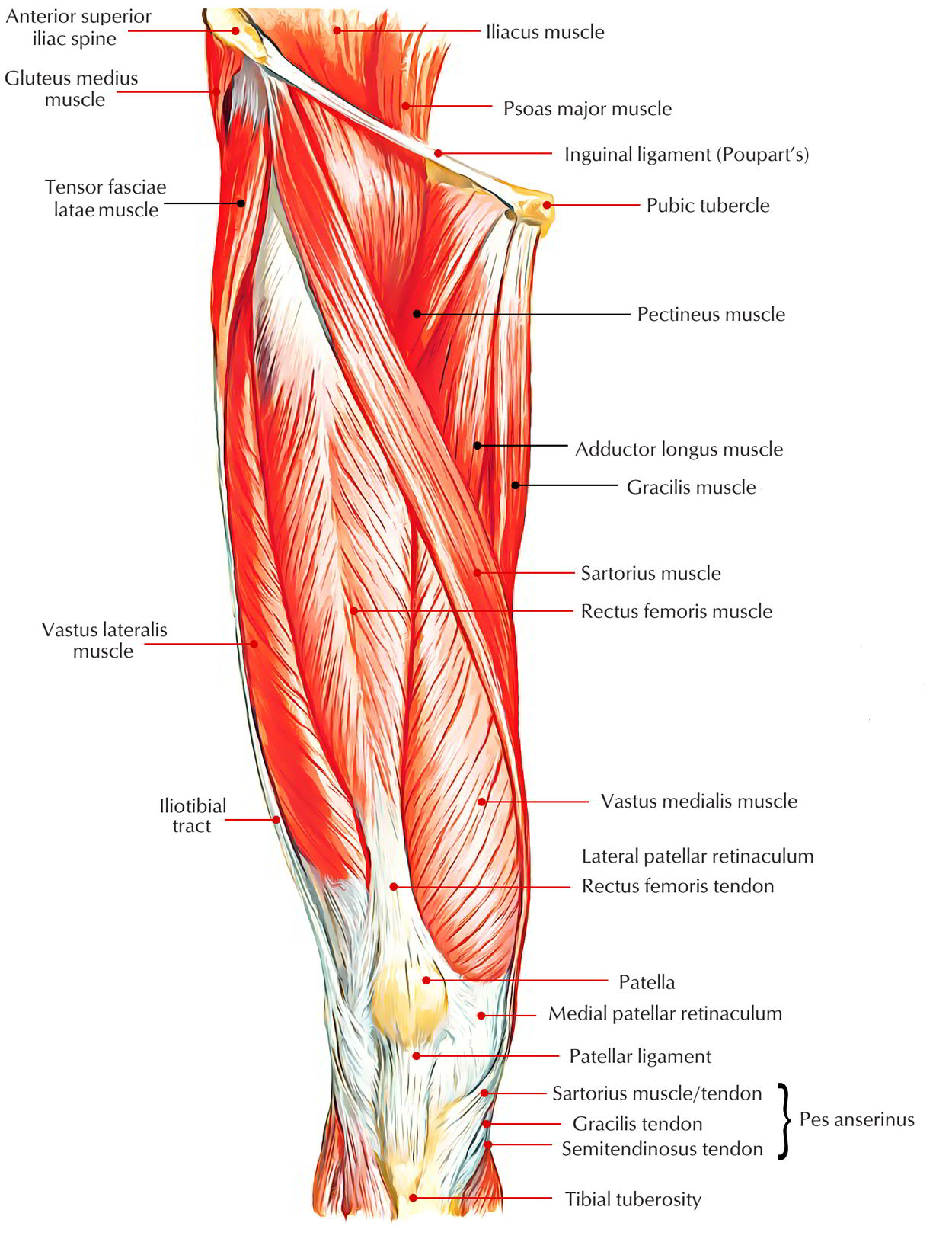 Easy Notes On Muscles Of Anterior Compartment Of The Thigh