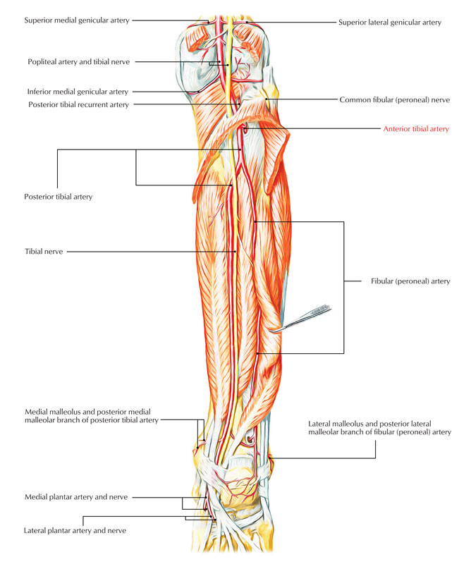 Easy Notes On Anterior Tibial Arterylearn In Just 3 Minutes