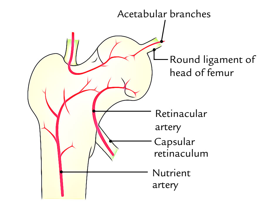 Arterial Supply of Hip Joint
