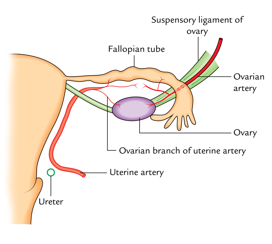 Arterial Supply of the Fallopian tube