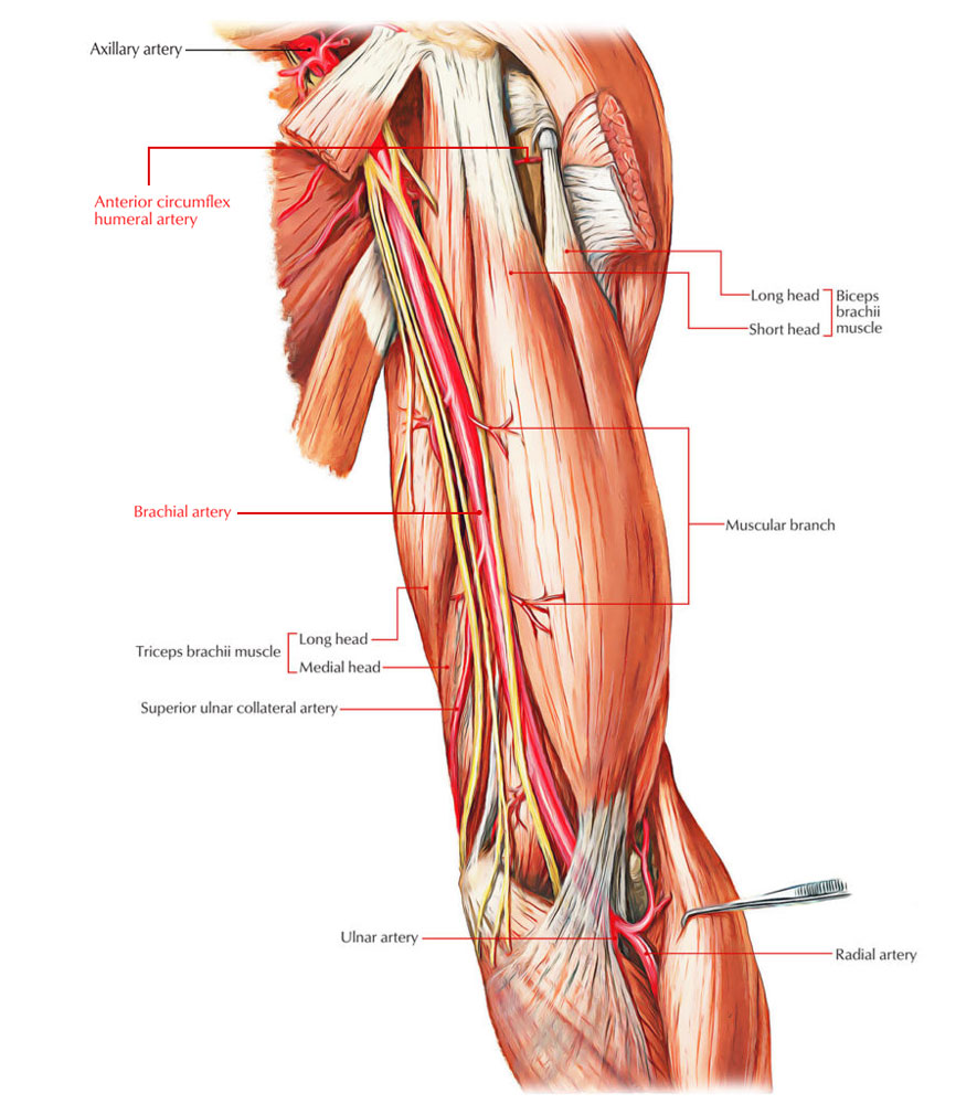 Biceps Brachii Muscle - Arterial Supply