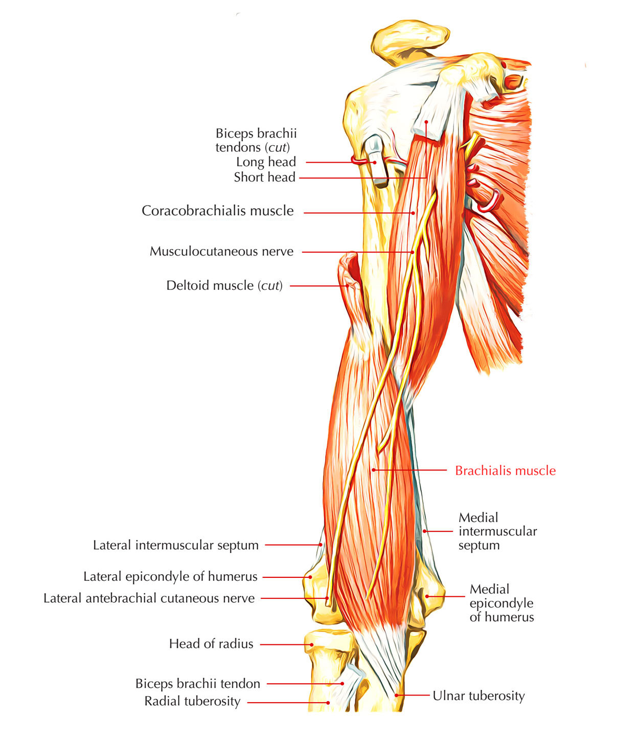 Easy Notes On 【Brachialis Muscle】Learn in Just 4 Minutes!