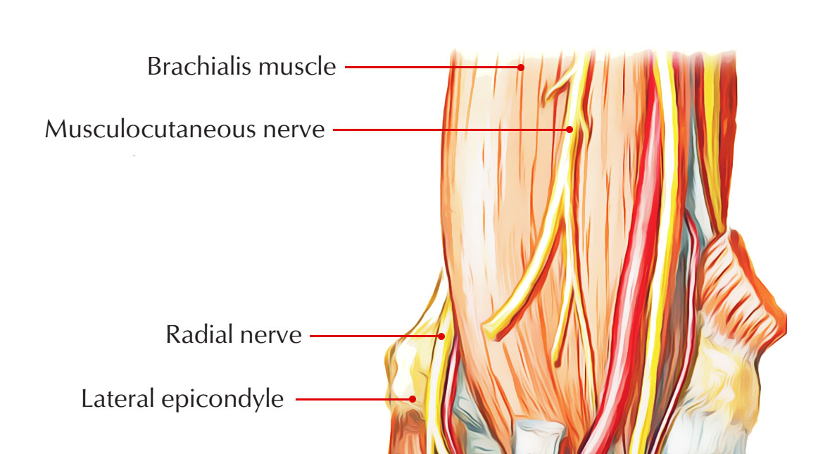 Nerve Supply of Brachialis Muscle