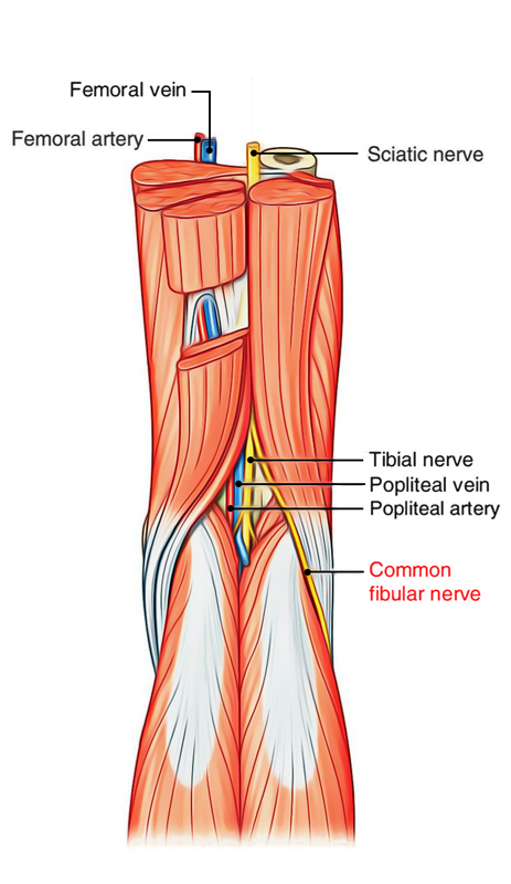 Easy Notes On Popliteal Fossalearn In Just 4 Minutes