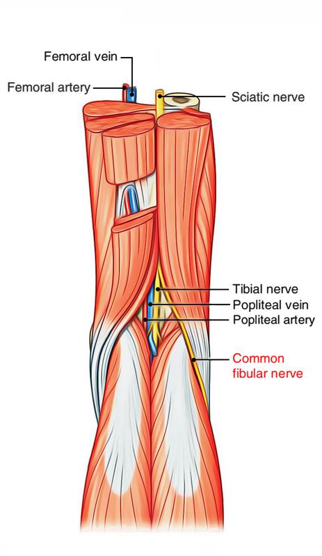Popliteal Fossa: Common Peroneal Nerve