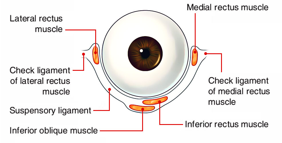 Ligaments associated to the Eye