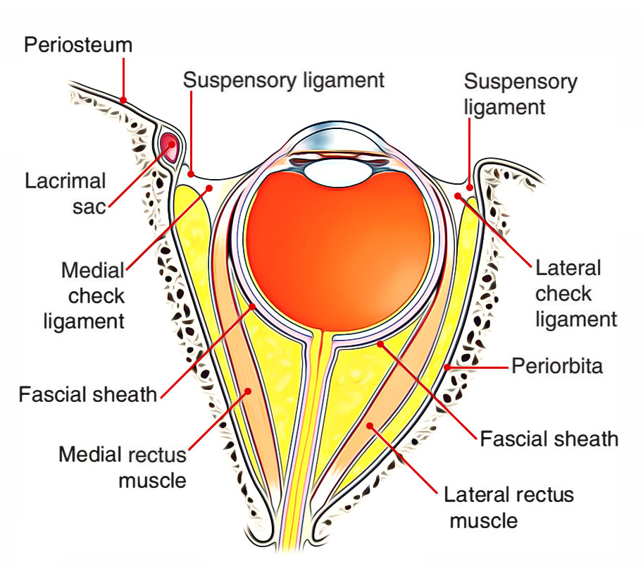 Easy Notes On Suspensory And Test Ligaments Of The Eye