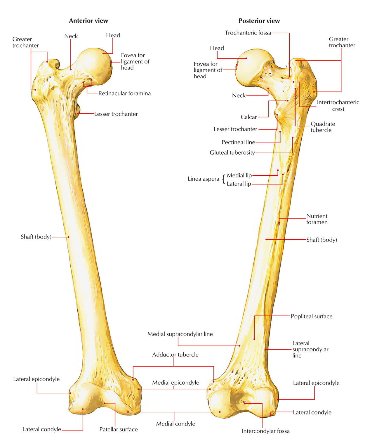 full femur diagram wiring diagram work Hip Diagram
