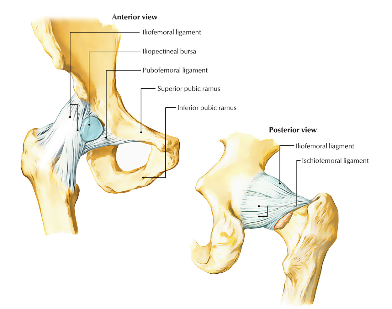 Lab Hip Joint Diagram Block And Schematic Diagrams