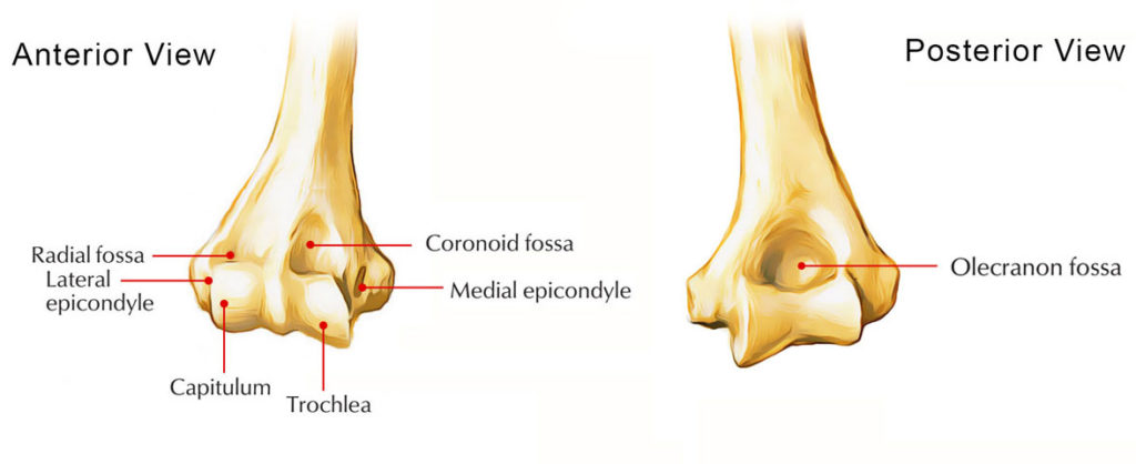 Medial Condyle of Humerus