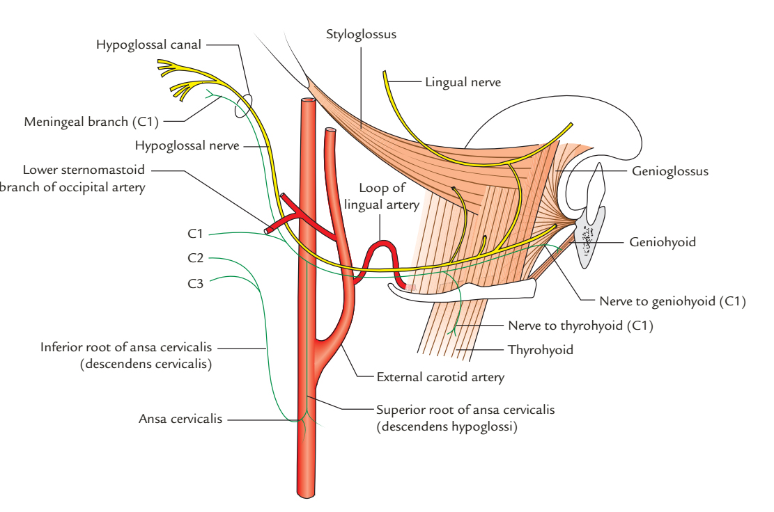 Hypoglossal Nerve: Origin and Course