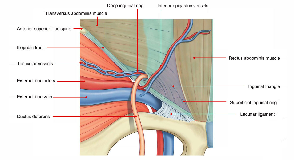 Inguinal Triangle