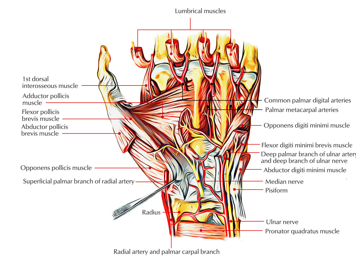 Intrinsic Muscles of Hand