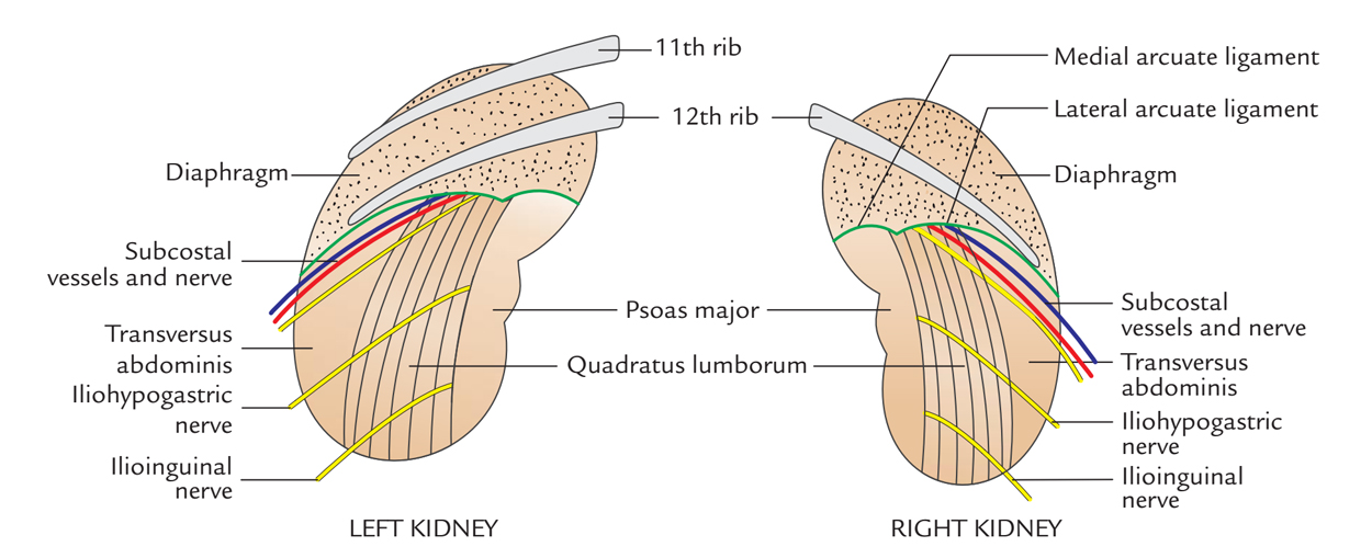 Kidneys: Posterior Relations