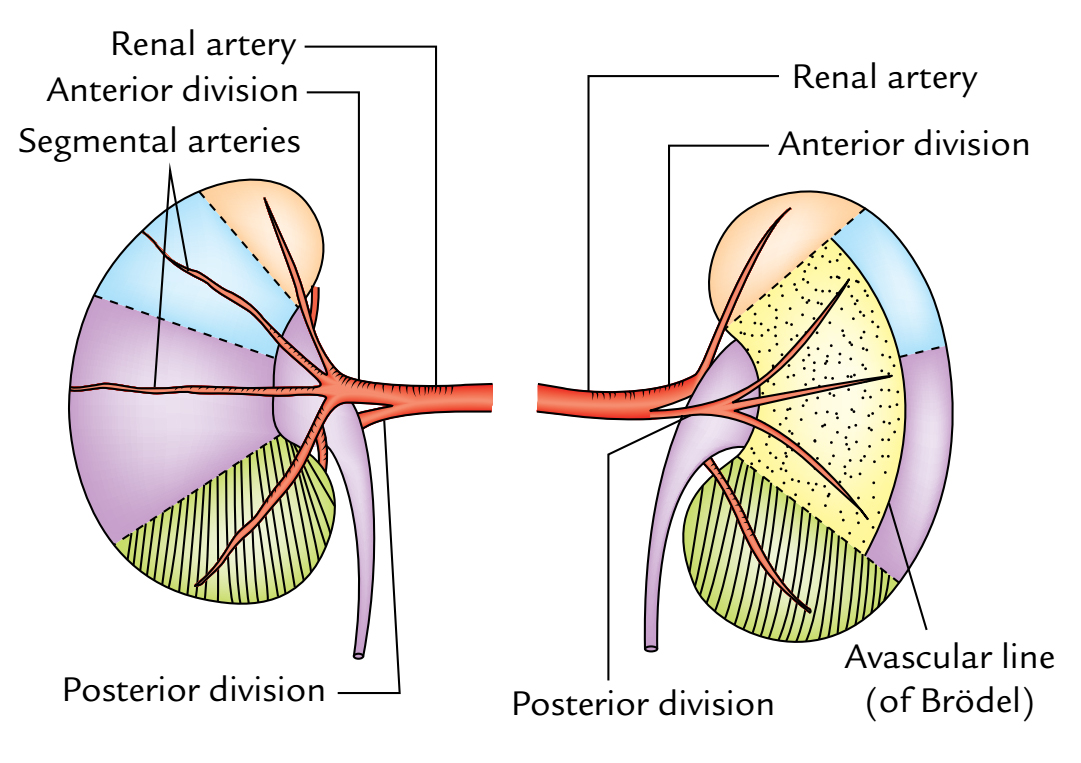 Kidneys: Renal Artery