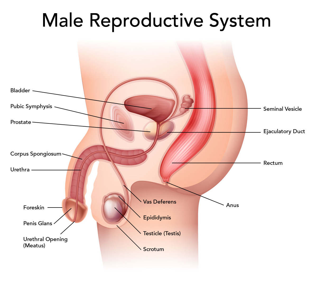 Male Reproductive System Locations And Functions Of The Male