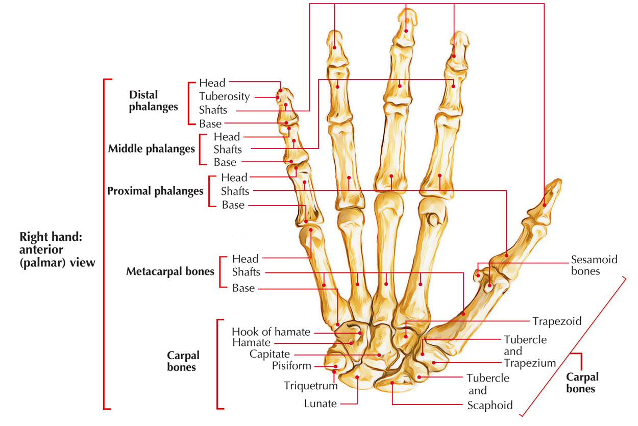 Bones of Upper limb: Bones of Hand