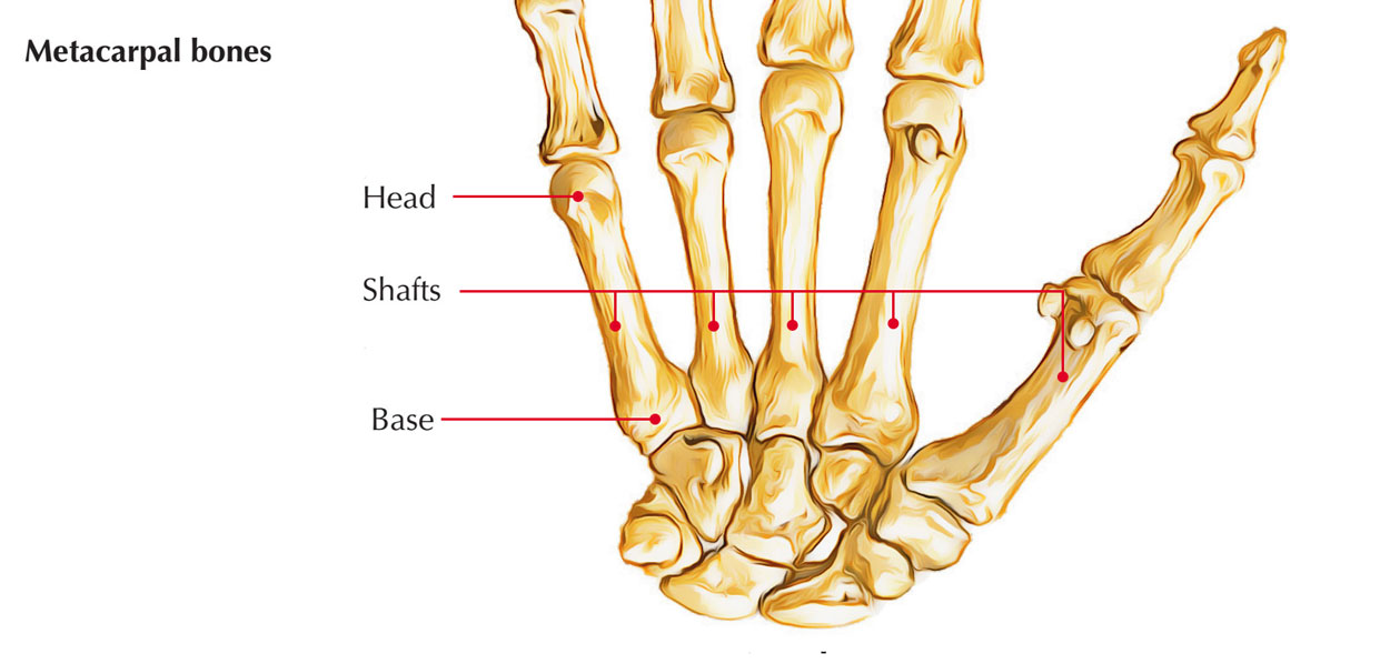 Metacarpal Bones: Parts of Metacarpal Bones