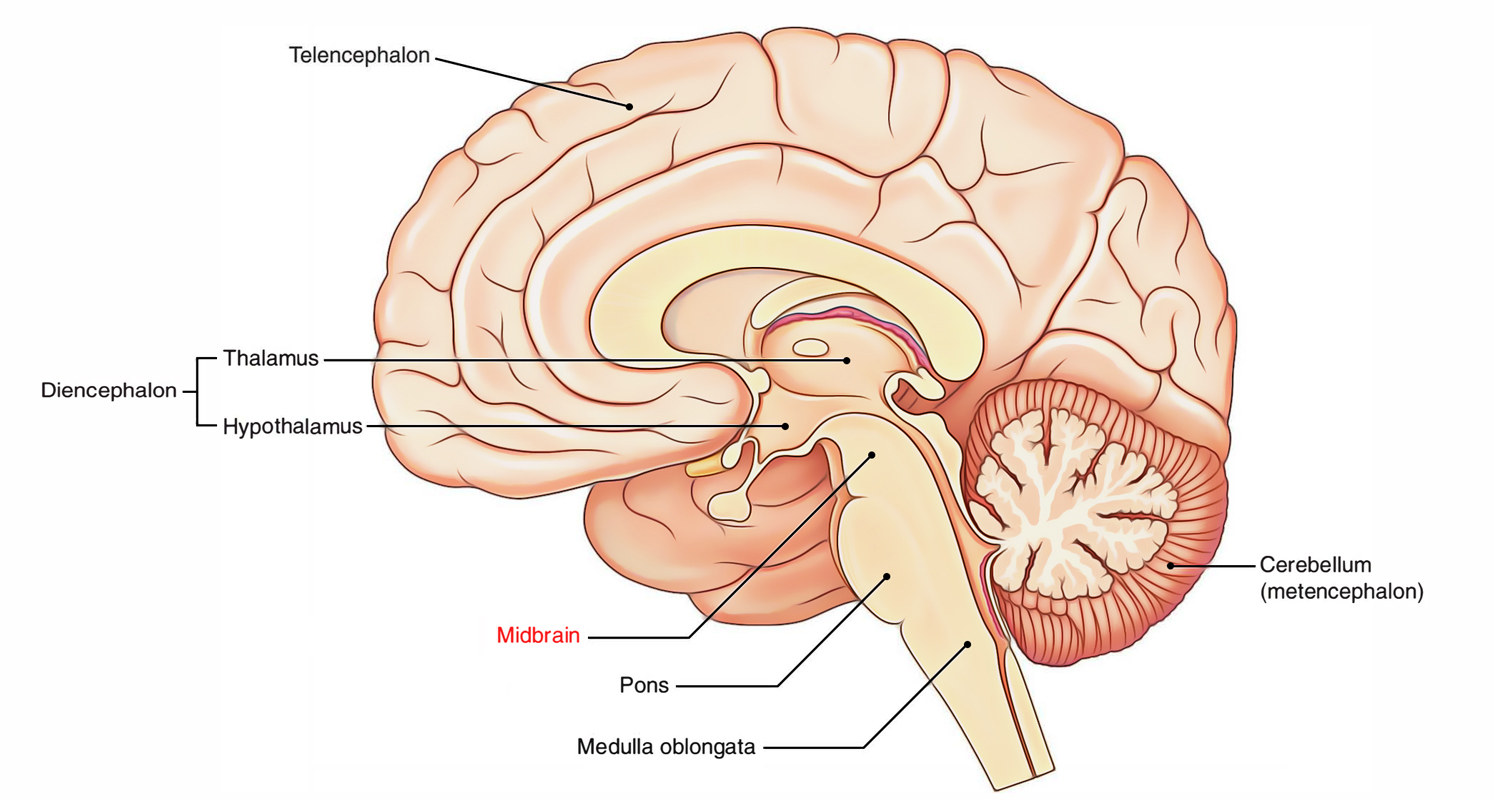 Easy Notes On 【Medulla Oblongata】Learn in Just 4 Minutes!