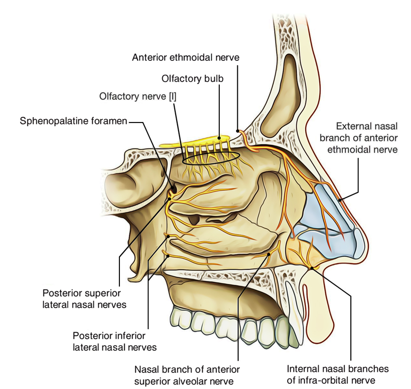 Nasal Cavity: Nerve Supply of Lateral Wall