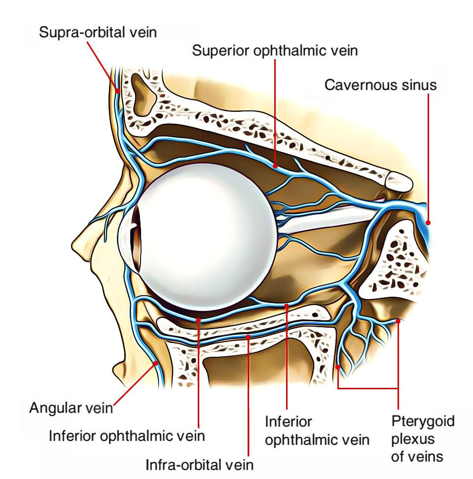 Eye - Opthalmic Veins