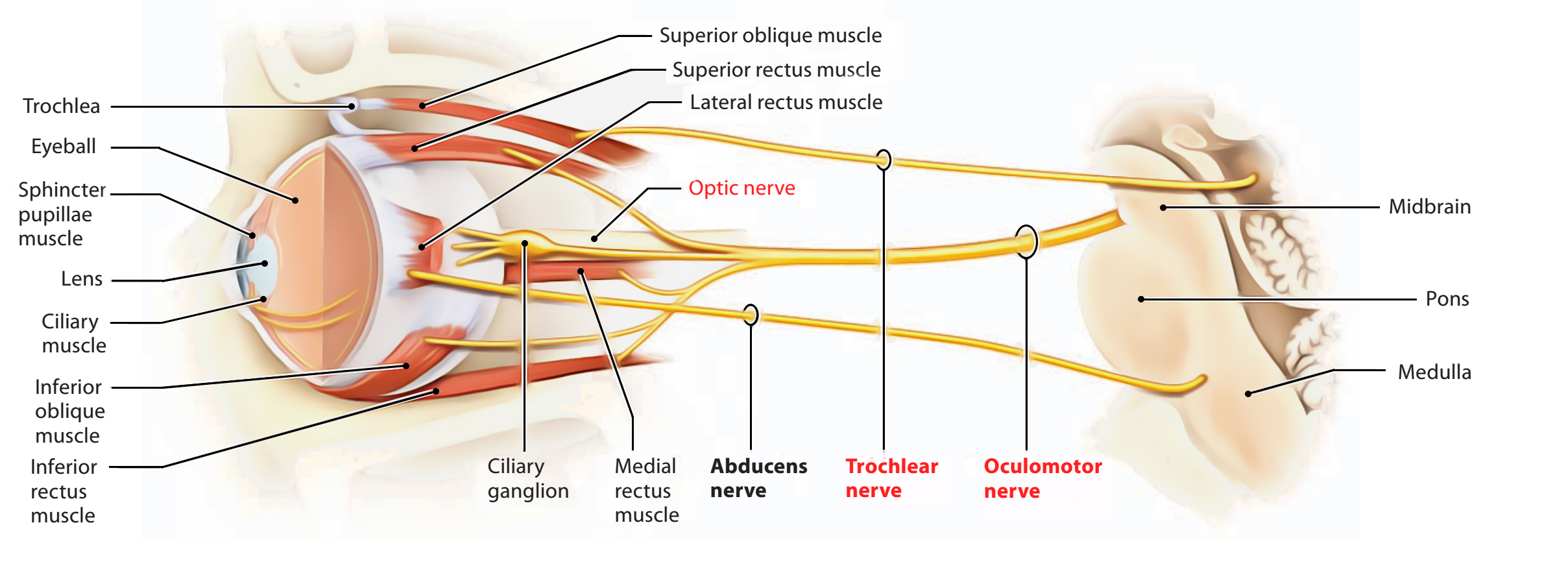 Easy Notes On 【Oculomotor Nerve】Learn in Just 3 Minutes!