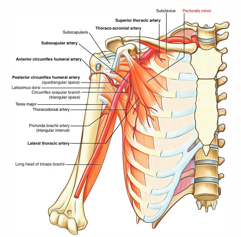 Pectoralis Minor Muscle
