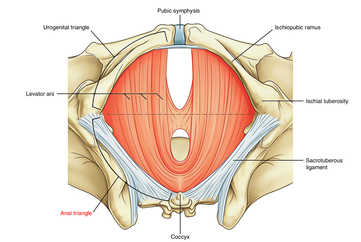 Perineum: Anal Triangle