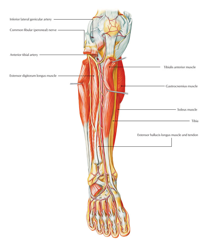 Easy Notes On 【Anterior Tibial Artery】Learn in Just 3 Minutes!