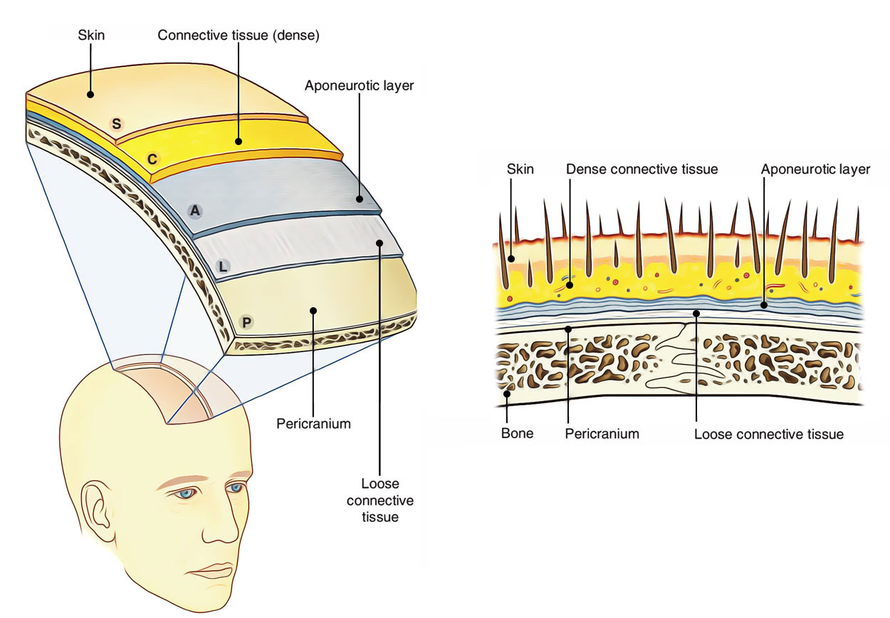 Easy Notes On 【Skin of the Scalp】Learn in Just 4 Minutes!